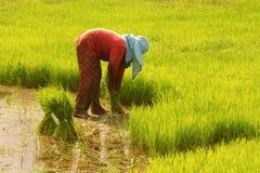 Thai farmer preparation rice seedlings Royalty Free Stock Images