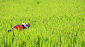 Thai farmer reaping harvest rice Stock Photo