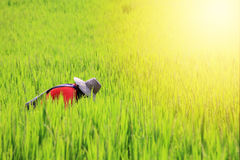 Thai farmer reaping harvest rice Stock Photography