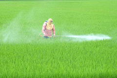 A Thai farmer is spraying insecticides in field. A Thai farmer is spraying insecticides stock photography