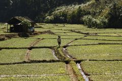 Thai farmer tending his rice fields royalty free stock images