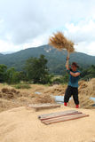 Thai farmer is threshing the grain Royalty Free Stock Image