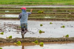 Thai farmer is throwing the rice seedlings in a paddy field stock images
