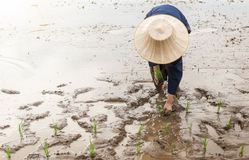 Thai farmer transplanting rice seedlings in paddy field Royalty Free Stock Images