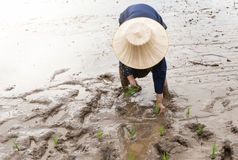 Thai farmer transplanting rice seedlings in paddy field Stock Photos