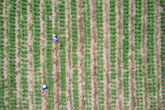 Thai farmer working in green field of chilli plant, Aerial view Stock Photos