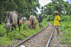 Thai Farmers with buffalo's near the bridge at the river kwai Royalty Free Stock Photo