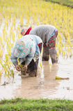 Thai farmers are doing rice farming. Royalty Free Stock Photos