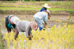 Thai farmers are doing rice farming. Royalty Free Stock Photography