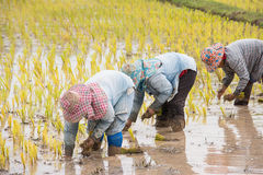 Thai farmers are doing rice farming. Stock Photo