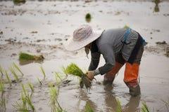 Thai farmers grow rice with fluency Stock Photo