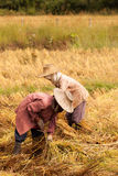 Thai farmers havest rice in farm Stock Photo