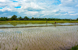 Thai farmers planting new rice fields in the countryside of Thailand Royalty Free Stock Photos