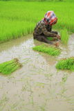 Thai farmers planting rice Royalty Free Stock Image