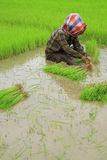 Thai farmers planting rice Stock Photo