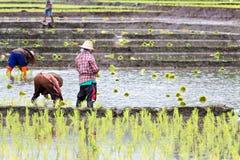 Thai farmers planting rice Stock Photo