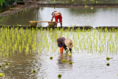 Thai farmers planting rice Royalty Free Stock Images