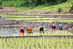 Thai farmers planting rice Stock Image