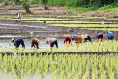 Thai farmers planting rice Stock Photos
