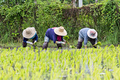 Thai farmers planting rice Royalty Free Stock Photos