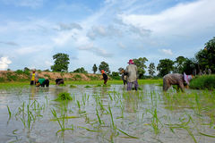 Thai farmers are planting rice on July 18,2016 at Wapi Pathum, Mahasarakham,Thailand. Stock Photos