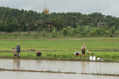 Thai farmers plants rice at the paddy field Royalty Free Stock Photography