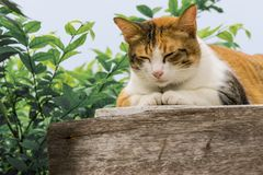 Thai fattened cats on wooden wall with tree background used as background image Royalty Free Stock Images