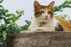 Thai fattened cats on wooden wall with tree background used as background image Stock Image