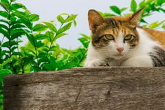 Thai fattened cats on wooden wall with tree background used as background image Royalty Free Stock Photos