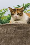 Thai fattened cats on wooden wall with tree background used as background image Royalty Free Stock Image