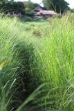Thai field grass Stock Photo