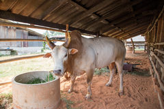 Thai Fighting Cow Stock Image