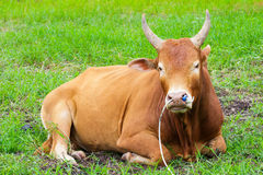 Thai fighting cow on green grass Royalty Free Stock Image