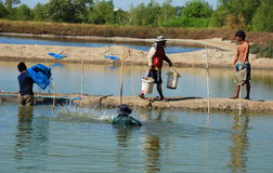 Thai Fish Farm Workers. Thai fishermen using large blue nets emerge from the water as one man carries buckets of fresh fish as he walks along an earthen berm at Royalty Free Stock Photo