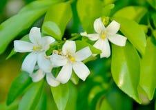 Thai flower Stock Image