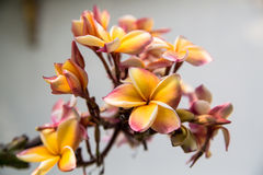 Thai Flower. The most popular Thai flower - plumeria Stock Images