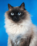 Thai fluffy cat with blue eyes sitting on blue Royalty Free Stock Photo