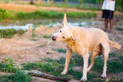 Thai Folk Dog Flip the hair. To let go of the water stock photography