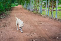 Thai folk dog keeps walking. And keeps watch Royalty Free Stock Images