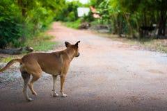 Thai folk dog keeps walking. And keeps watch Royalty Free Stock Image