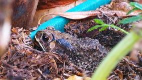 thai frog Stock Image
