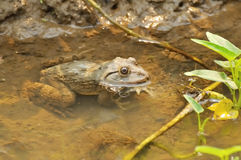 Thai frog in pond Stock Photos