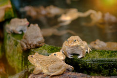 Thai frog in pond. Stock Photos