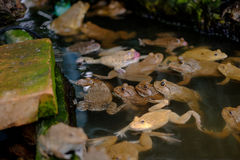 Thai frog in pond. Stock Images
