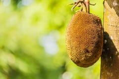 Thai fruit giant jackfruit Stock Images