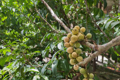 Thai fruit Lang-sat and Longgong Stock Photo