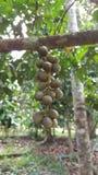 Thai fruit., Long-kong. Stock Photo