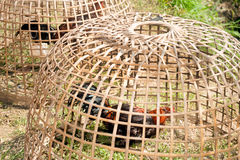 Thai gamecock in the coop. Royalty Free Stock Image