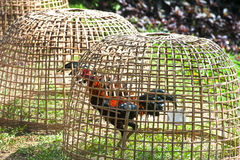 Thai gamecock in the coop. Stock Photo