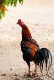Thai gamecock royalty free stock images